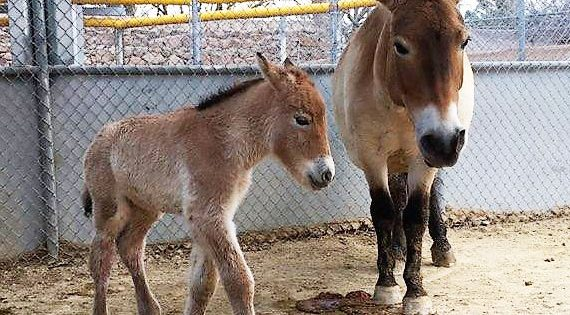 El Paso Zoo Welcomes Przewalski's Horse